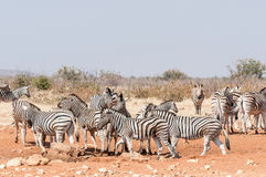 Зебры Burchells и зебры горы Hartmann Стоковое Изображение