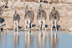 4 зебры Burchells на waterhole в северной Намибии Стоковые Фото
