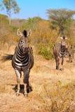 зебры equus burchellii стоковые фотографии rf