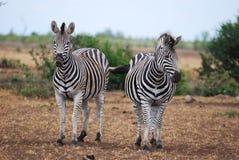 зебры equus s burchellii burchell Стоковое Изображение RF