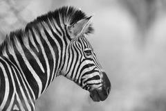 зебры equus s burchellii burchell Стоковое фото RF