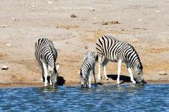 Зебры - Etosha, Намибия Стоковое Изображение RF