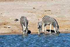 Зебры - Etosha, Намибия Стоковая Фотография RF