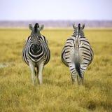 2 зебры Etosha NP в квадратном составе Стоковые Изображения RF