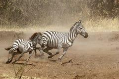 2 зебры gallopping Стоковое Изображение RF
