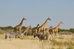зебры giraffes etosha Стоковая Фотография