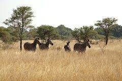 зебры kruger Стоковые Изображения RF