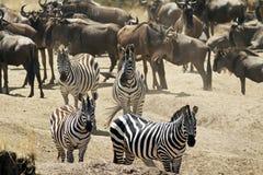 Зебры Mara Masai Стоковые Изображения