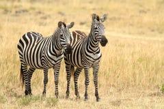 Зебры Mara Masai Стоковые Фото