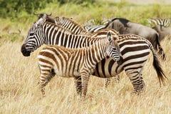 зебры masai mara Стоковые Фото