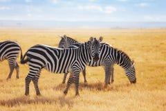 Зебры pasturing на кенийской саванне, Африке Стоковое Изображение
