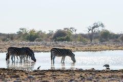 Зебры ` s Burchell выпивая на waterhole Стоковые Фото