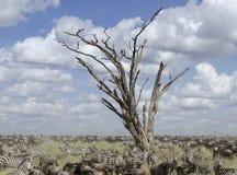 зебры wildebeest serengeti табуна Стоковые Фото
