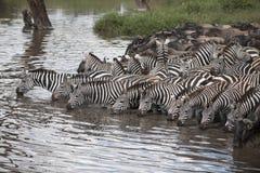 зебры wildebeest serengeti Стоковые Изображения RF