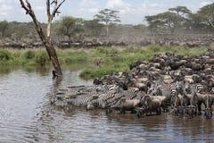 зебры wildebeest serengeti Стоковые Изображения