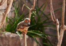 Зебр-зяблик сидя на ветви Стоковое Изображение