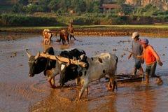 Зебу на работе в полях риса Betafo Стоковые Фото