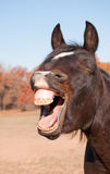 Зевать лошади, выглядеть как он смеется над Стоковая Фотография RF