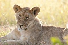 Зевая лев Стоковые Изображения