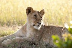 Зевая лев Стоковая Фотография