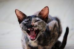 Зевая кот который выглядит сердитым стоковое изображение
