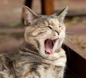 Зевая кот Tortoiseshell-Tabby стоковое фото rf