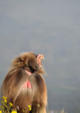 Зевая павиан Стоковые Фото