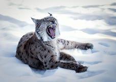 Зевая рысь лежа на белой предпосылке Стоковая Фотография