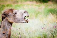 Зевая Bactrian верблюд Стоковые Фотографии RF