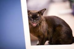 Зевки бирманского кота Брауна молодые стоковые изображения