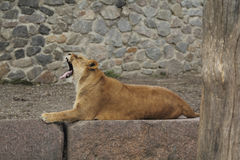 Зевки львицы стоковые фотографии rf