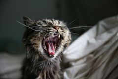 Зевок котов Стоковые Изображения