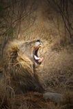 зевок льва Стоковые Фотографии RF
