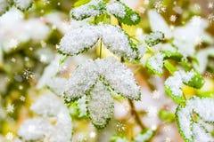 Зеленая акация выходит в холод осени на ветвь под первым снегом, стоковое изображение rf