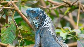 Зеленая американская синь игуаны morph стоковое фото rf