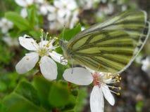 Зеленая бабочка стоковая фотография rf