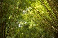 Зеленая бамбуковая природа леса Стоковые Изображения RF