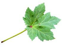 зеленая бамия листьев Стоковое Изображение RF