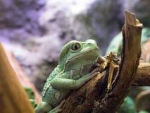 Зеленая большая лягушка на деревянной ветви дерева в зоопарке Риге 2014 Латвии Стоковые Изображения RF