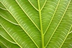 зеленая вена Стоковое фото RF