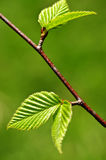 зеленая весна листьев Стоковое фото RF