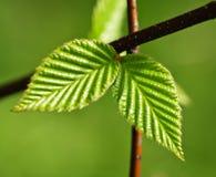 зеленая весна листьев Стоковая Фотография RF