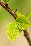 зеленая весна листьев Стоковые Изображения