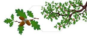 Зеленая ветвь большого дуба с жолудями и отдельным концом хворостины вверх иллюстрация Стоковые Фото