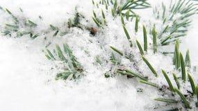 Зеленая ветвь елей в снеге Стоковая Фотография