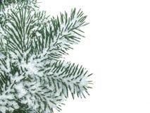 Зеленая ветвь ели покрытая со снегом изолированным на белизне стоковые изображения