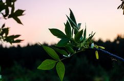 Зеленая ветвь на предпосылке неба захода солнца лета конец дня Немного минут перед темнотой стоковая фотография