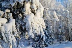Зеленая ветвь съела в снежном лесе на зимний день стоковое изображение