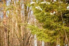 Зеленая ветвь съела в снежном лесе на зимний день стоковые изображения rf