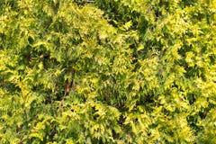 Зеленая ветвь arborvitae на природе Стоковое фото RF